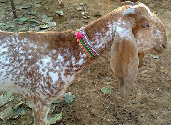 Beetal Goat Information Guide | Goat Farming