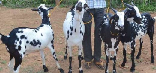 Barbari Goat Farming Information Guide | Goat Farming