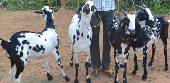 Black Spotted Barbari Goats.