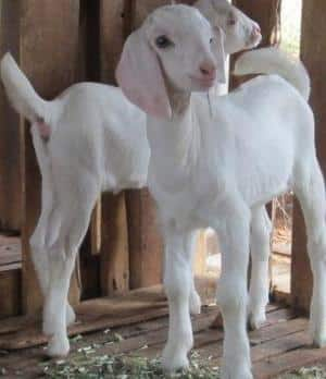 Tellicherry Goat Kids.