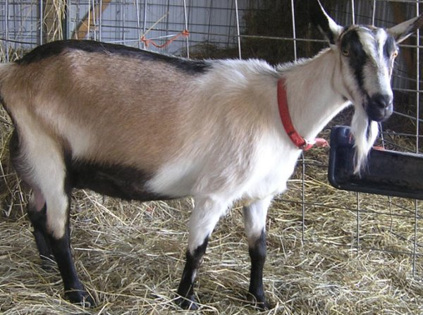 Alpine Goat (Female).