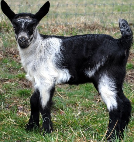 Alpine Goat Kid.