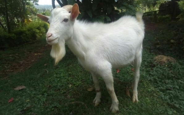 1 Source for Goat Farming, Breeding Information!