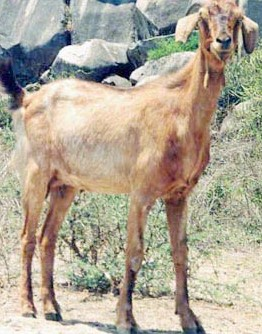 Ganjam Goat Female.