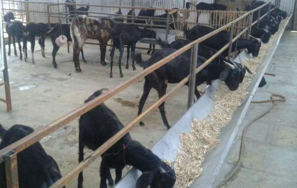Stall Fed Goat Farming.