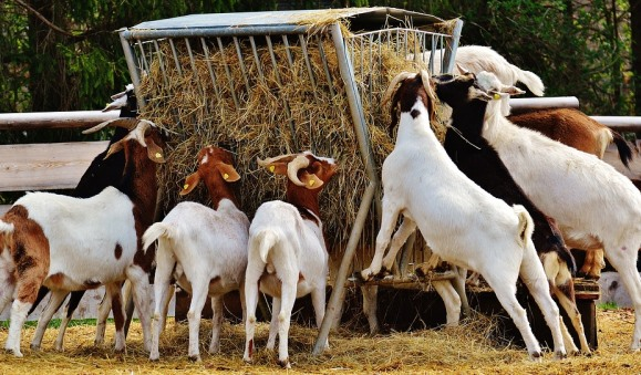 Goat Farming Plan.