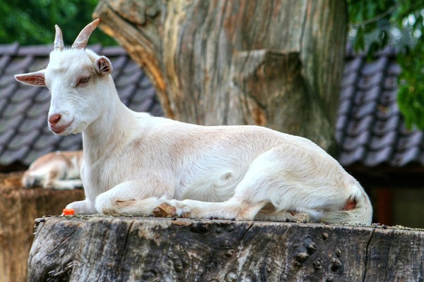 Goat Vaccination Schedule Information | Goat Farming