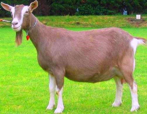 Toggenburg Goat Farming.