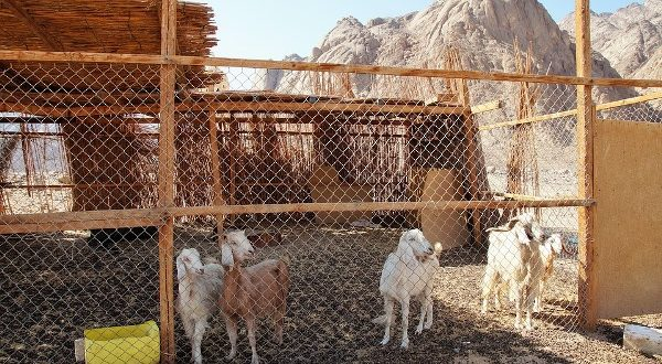 Stall Fed Goats.