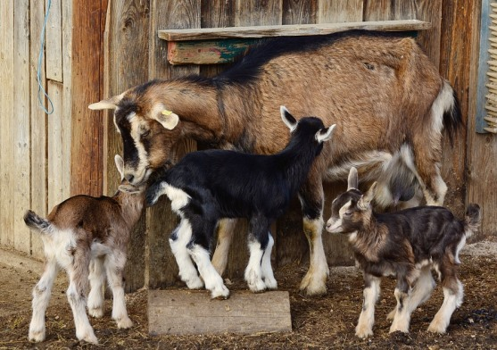 Goat with Triplets.