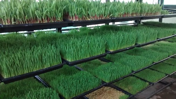 Hydroponically Grown Grass.