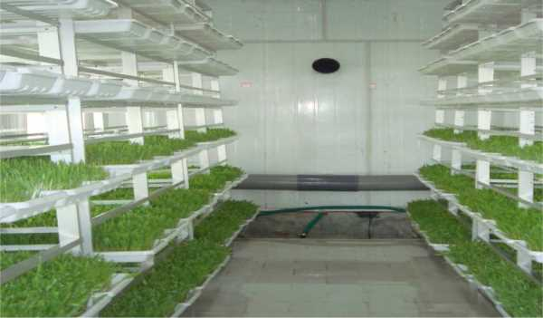 Growing Green Fodder in Tray System.