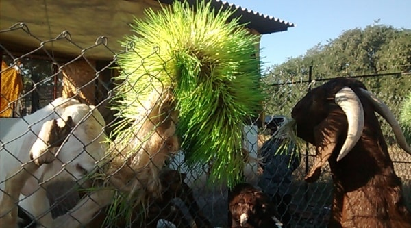 Hydroponic Fodder for Goats..