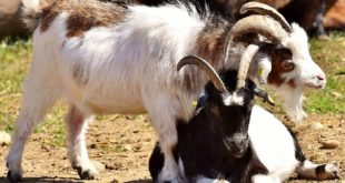 Goat Farming Business.
