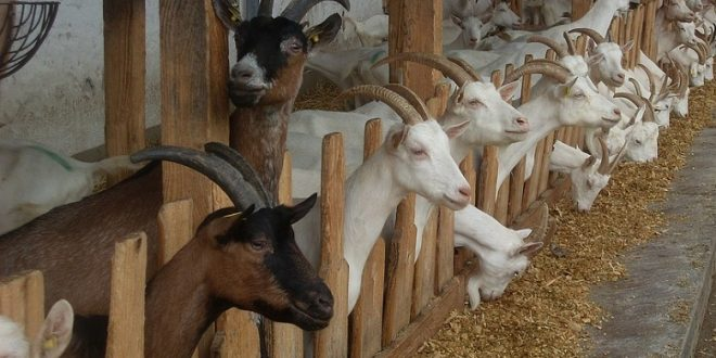 Goat Farming Cost And Profit Guide