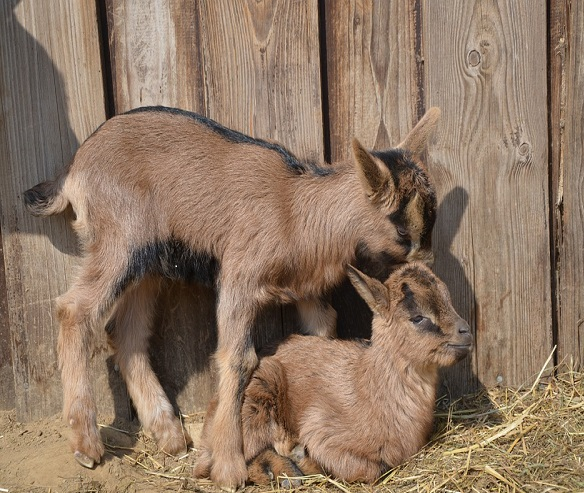 Goat Farming Cost and Profit Guide | Goat Farming