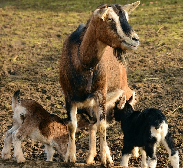 Breeding Goat Care.