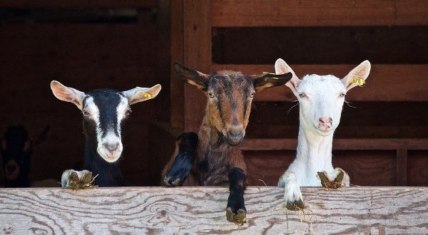 Goat Buying Tips and Selection.