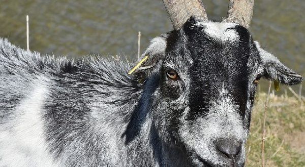 Goat Care Management.