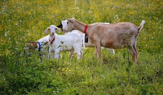 Goats Grazing on Pasture.