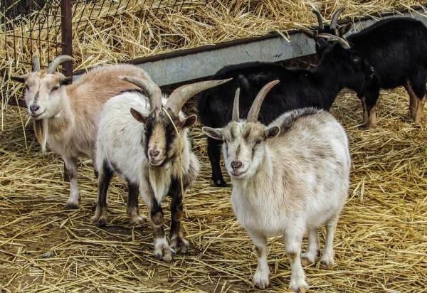 Goats with Dry Matter.