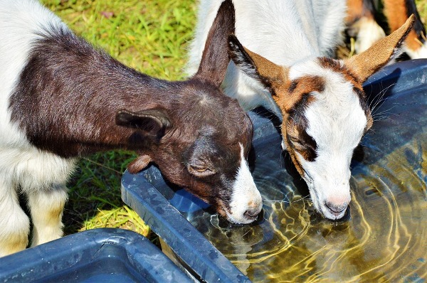 Goat Kids Drinking Fresh and Clean Water.