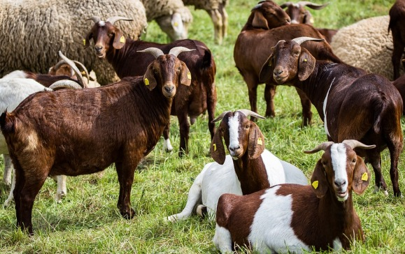 Goats Browsing on Open Fields.