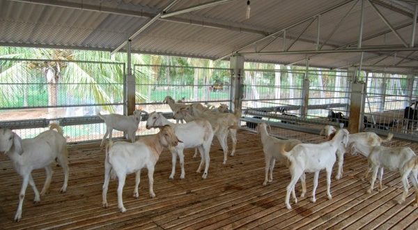 Image result for goat farming