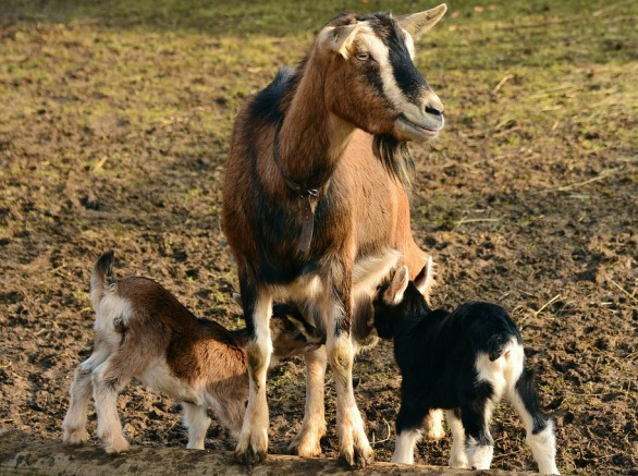 Goat Kids Care.
