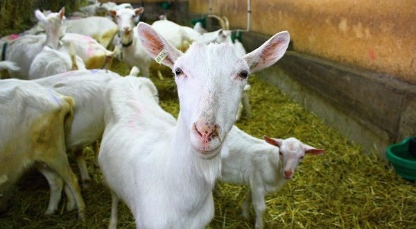 Goat Farming in Karnataka For Beginners | Goat Farming