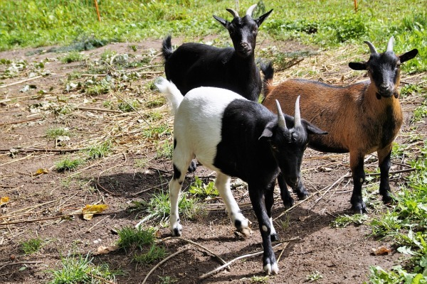 Goat Farming in Tamil Nadu.