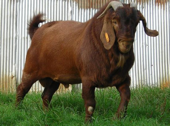 Kalahari Red Goat.