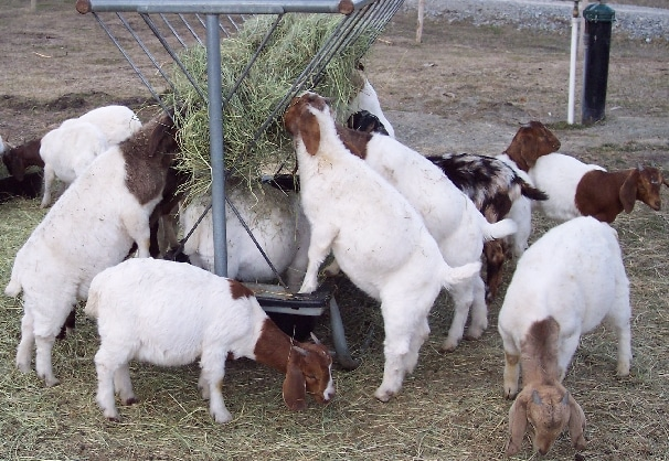 Boer Goat Farming in Bangladesh.