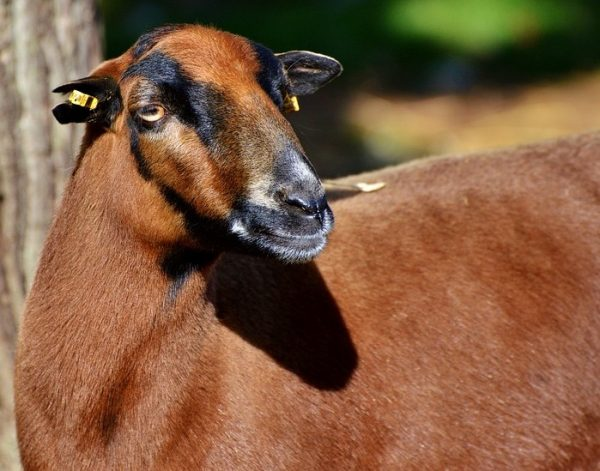Goat Farming In Philippines - A Beginners Guide | Goat Farming