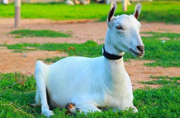 How To Start a Goat Farming in Pakistan.