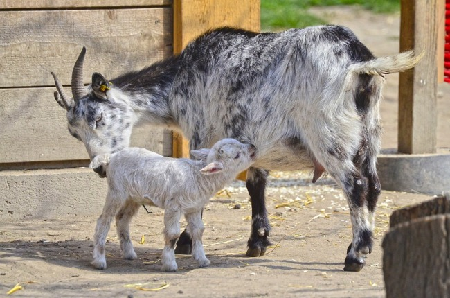 Newly Born Goat Kid.