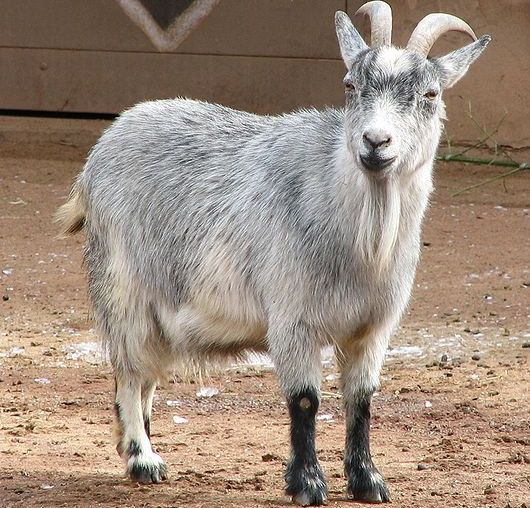 African Pygmy Goat (Pic source wikimedia commons).