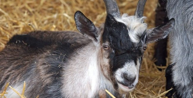 African Pygmy goat kid.