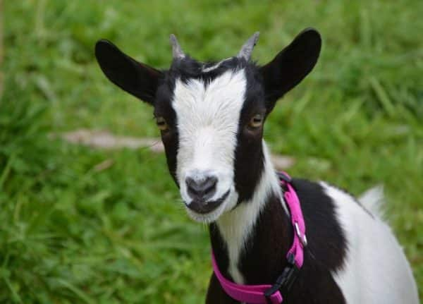 Goat Farming in West Bengal Information | Goat Farming