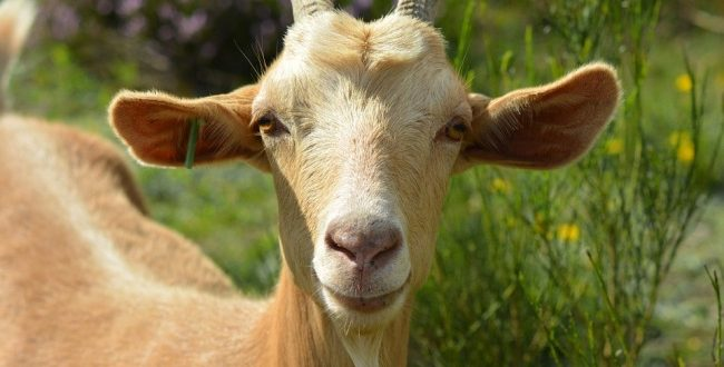 Goat Farming in Saudi Arabia Information | Goat Farming