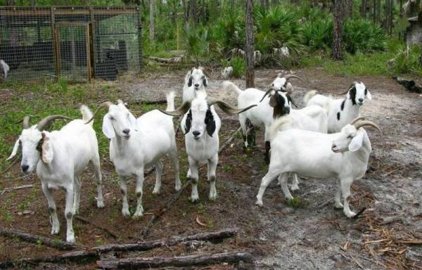 Goat Farming in South Africa (Pic Source Via Wikimedia Commons).