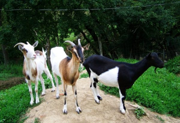 Goat Farming in West Bengal.