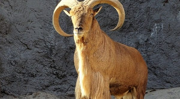 Wild Goat in South Africa.