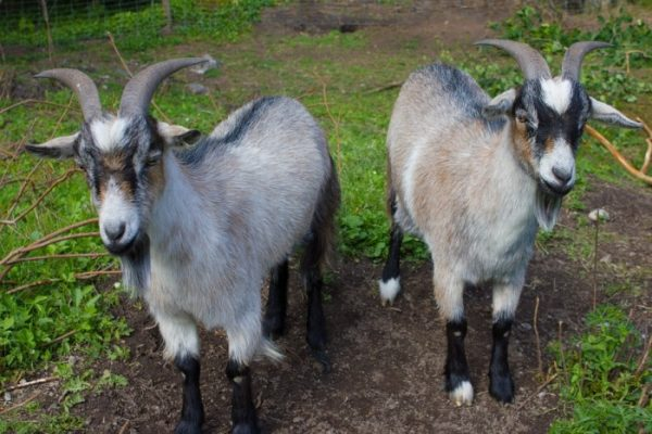 Goat Breed Selection.