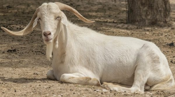 Goat Farming Questions.