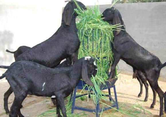Goat Farming In Haryana.