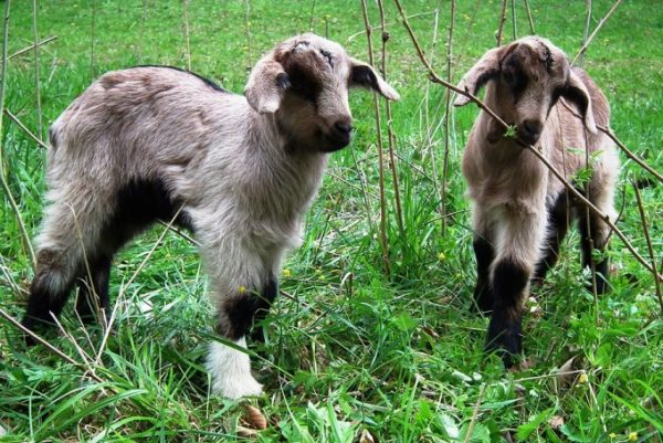 Goat Farming In Bihar Information and Tips | Goat Farming