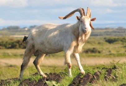 Irish Goat Information For Beginners | Goat Farming