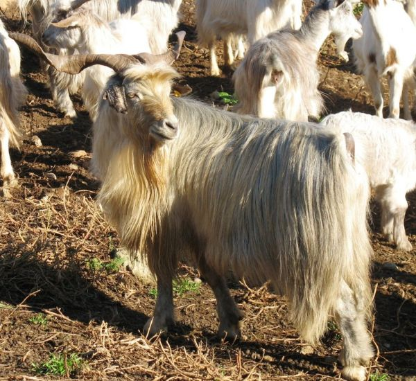 Sarda Goat Profile and Farming Information.