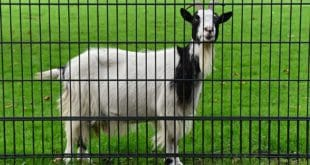 Goat Farming Loan and Subsidy Information Guide | Goat Farming